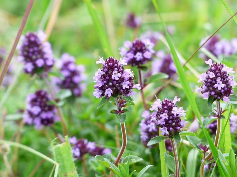 Thyme for green roof plants