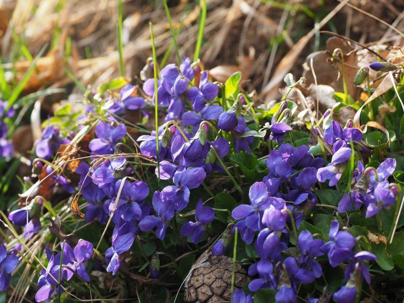 Wild violets Viola odorata