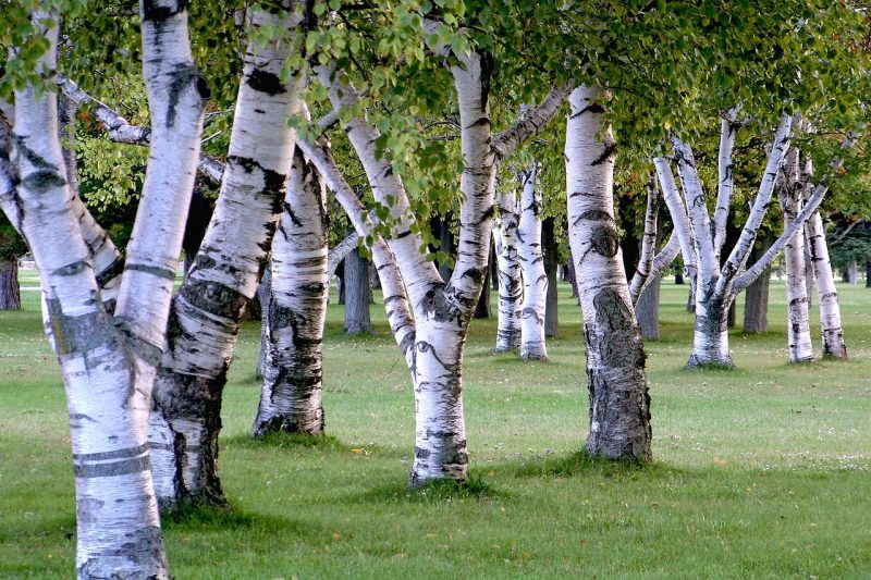 Silver birch trees for a woodland garden