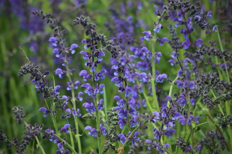 Blue wildflowers blue flag iris