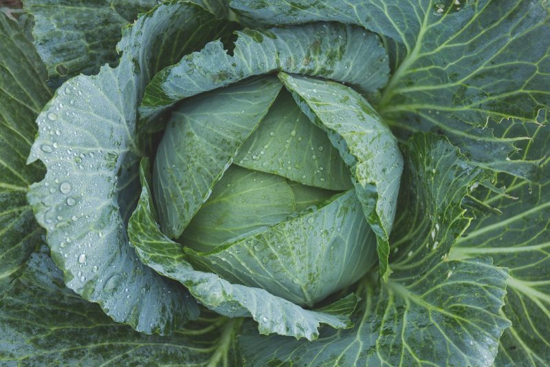 Giant vegetables like giant cabbage