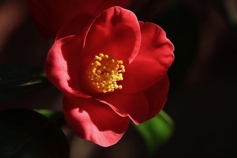 Camellia evergreen shrubs