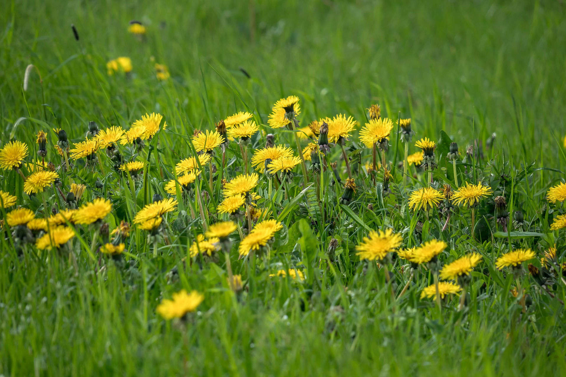 17 Wonderful Dandelion Uses You Might Not Know About