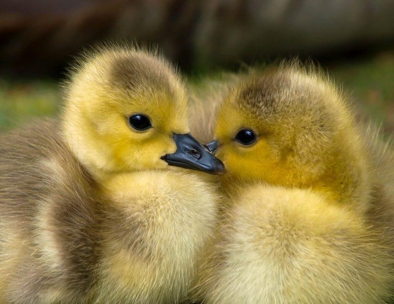 Duck breeds