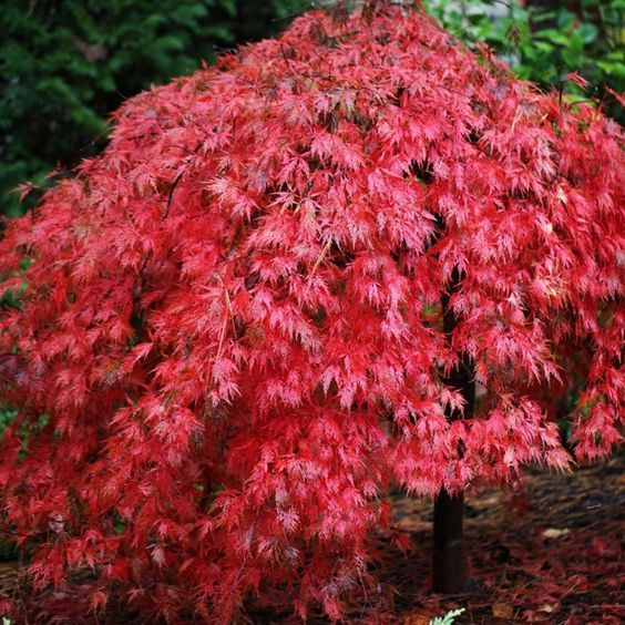 Acer ever red