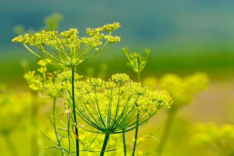Fennel plant
