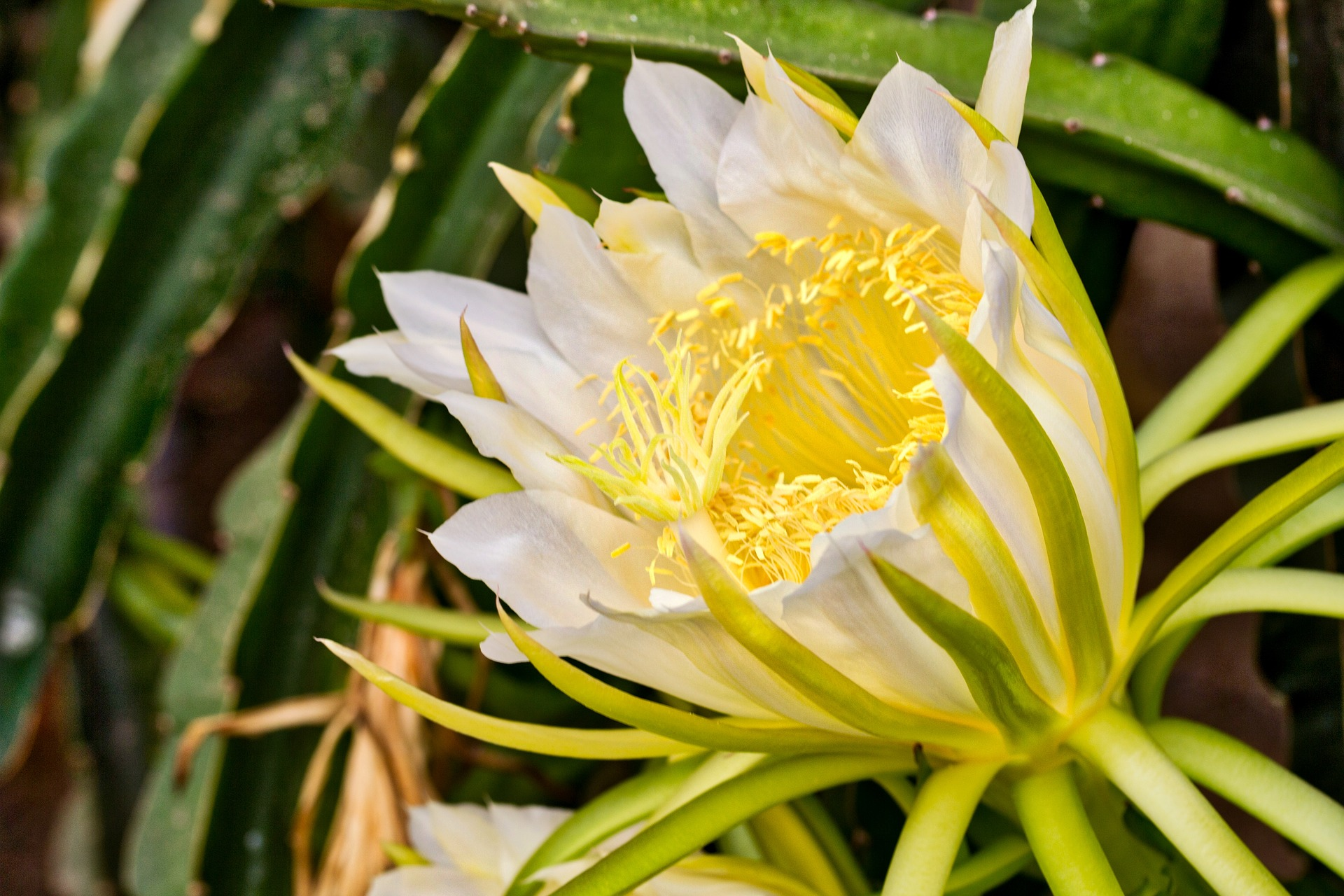 Orchid Cactus: Easy Grow and Care Guide