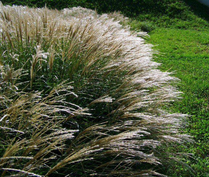 Getting rid of ornamental grasses