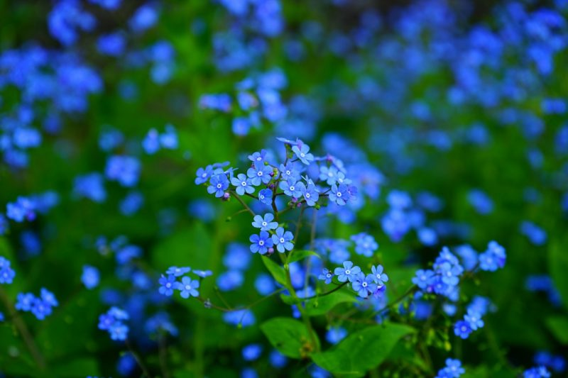 Forget-me-nots blue wildflowers