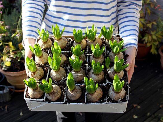 garden bulbs