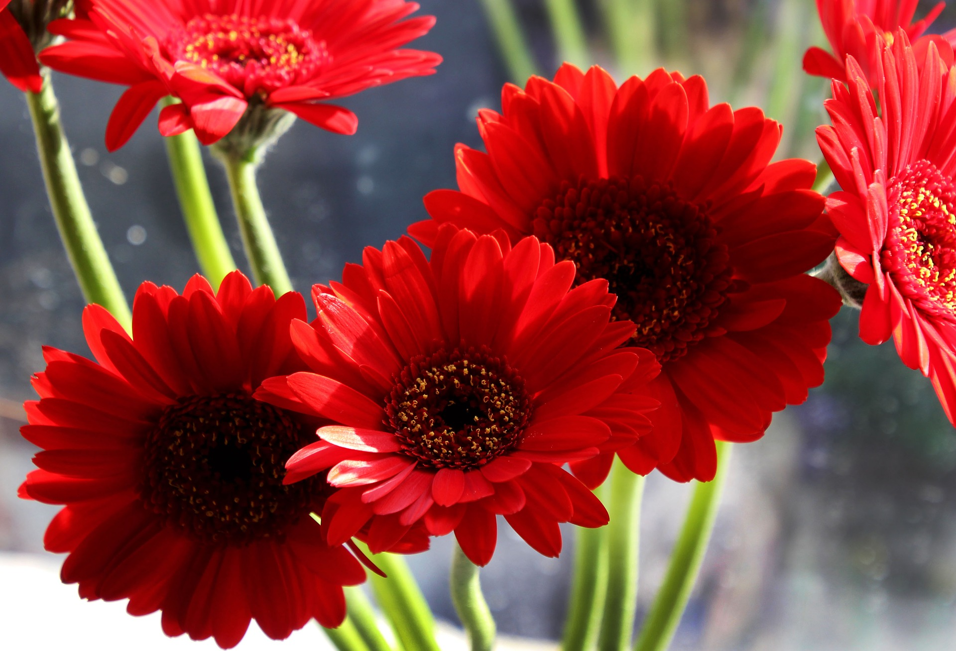 A Complete Growing and Care Guide for Gerbera Daisy
