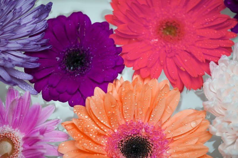 Gerbera daisy
