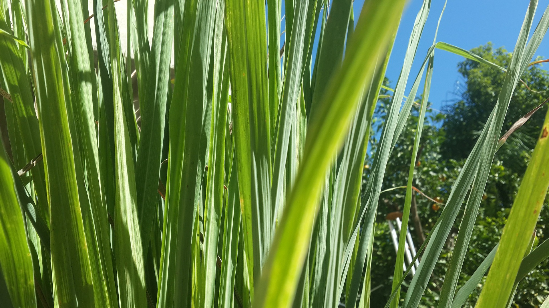 10 Tips for Growing a Common Lemongrass Plant