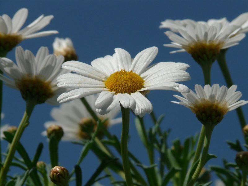 Leucanthenum