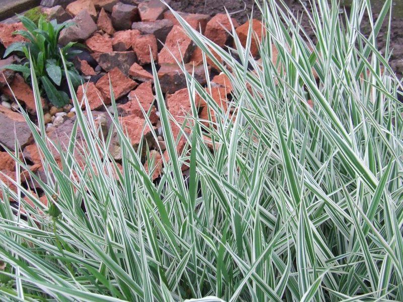 Prevent ornamental grasses from returning
