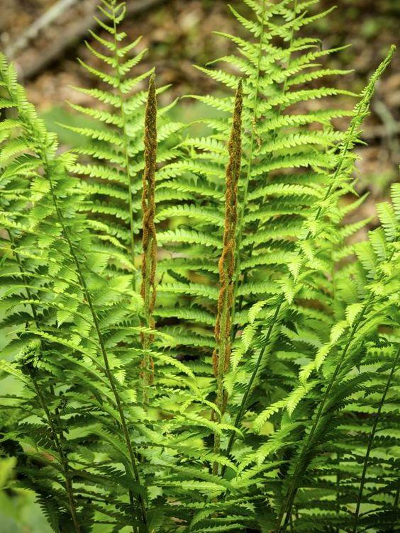 osmunda cinnamon fern