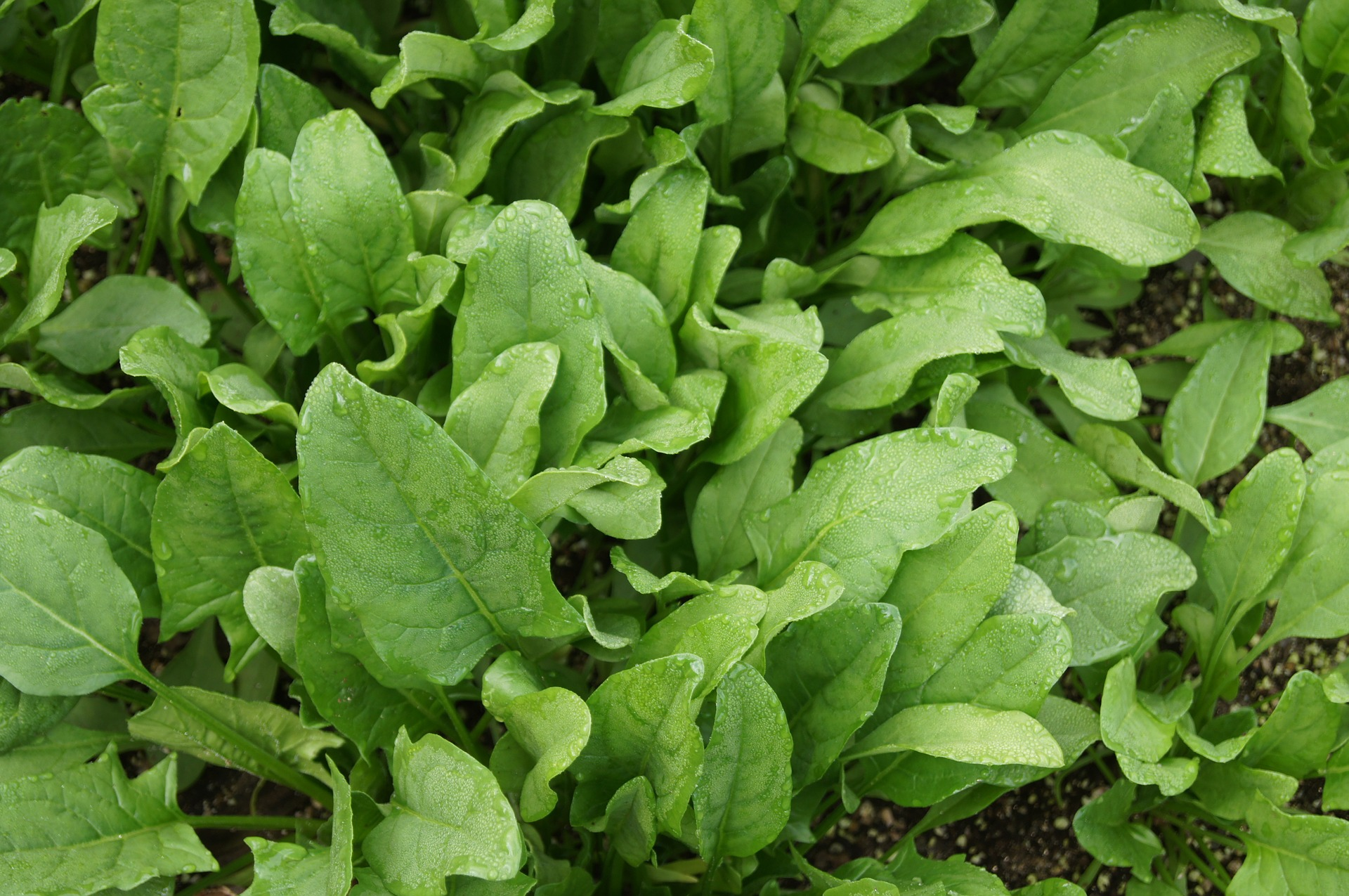 Choosing the Right Spinach Plant Varieties for Your Growing Zone