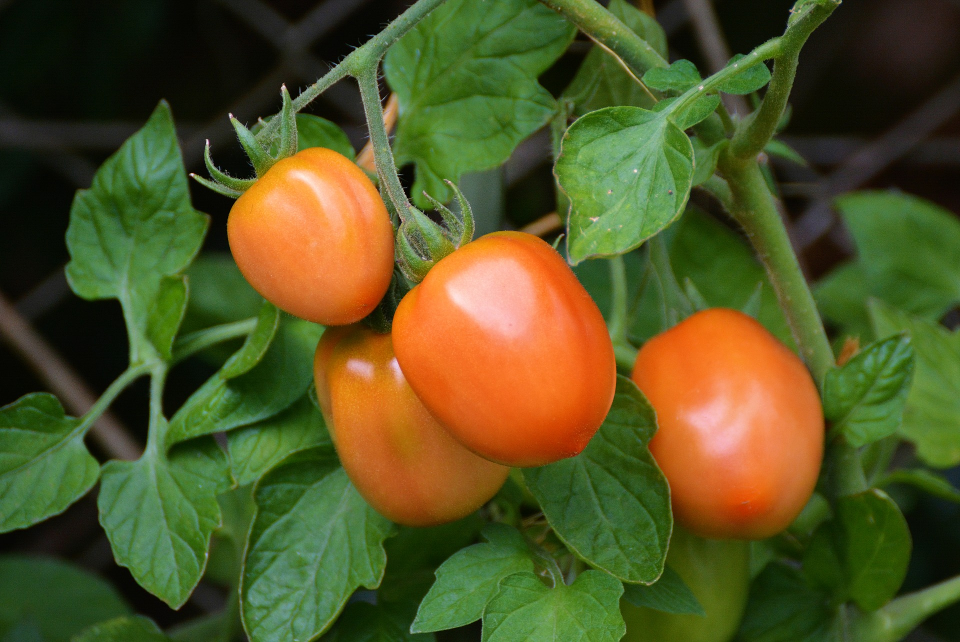 All You Need to Know About Those Weird Little Tomato Suckers