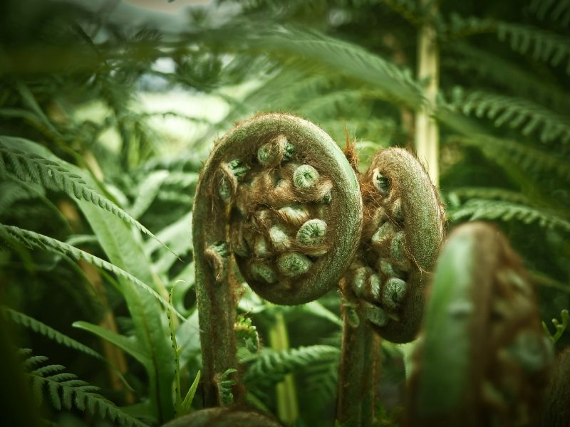Ferns for a woodland garden