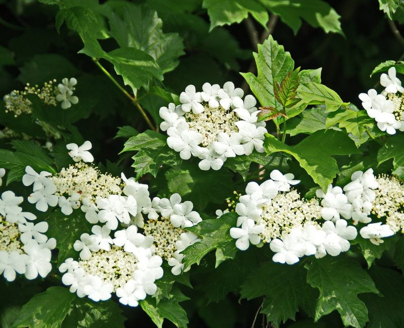 Viburnum for a woodland garden