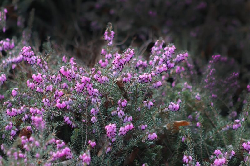 Winter Heath
