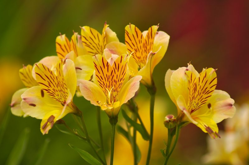 Alstroemeria in the language of flowers