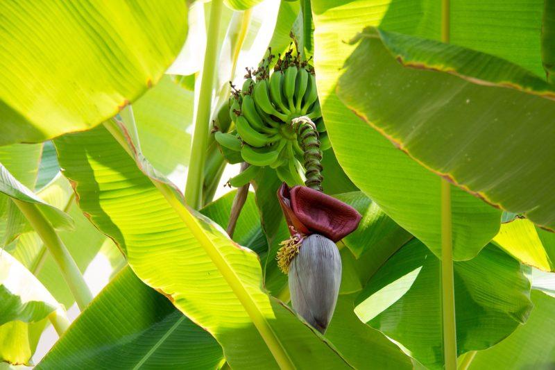Banana plants for a tropical garden