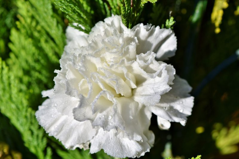 In the language of flowers, carnations have many meanings.