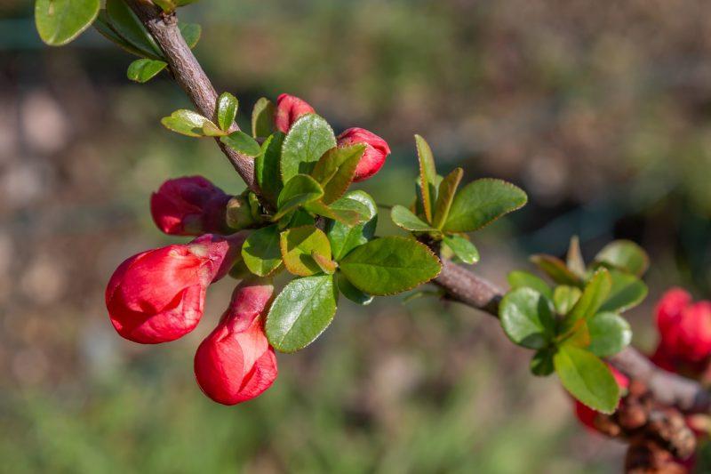 Ornamental quince flowering vines