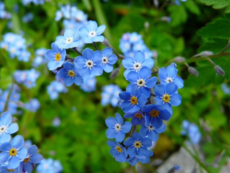 Language of flowers forget-me-nots