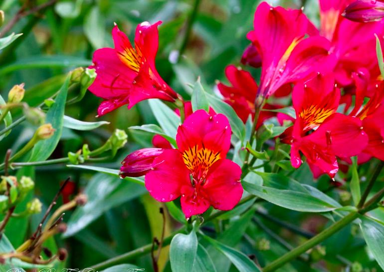 Phoenix Peruvian Lily