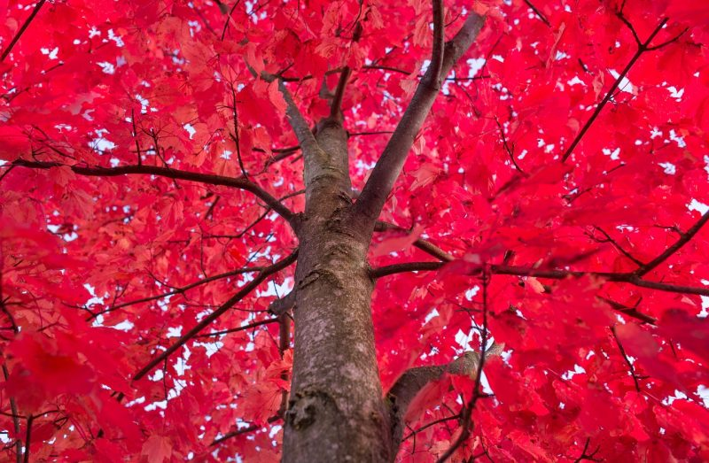 Red maples are fast growing shade trees