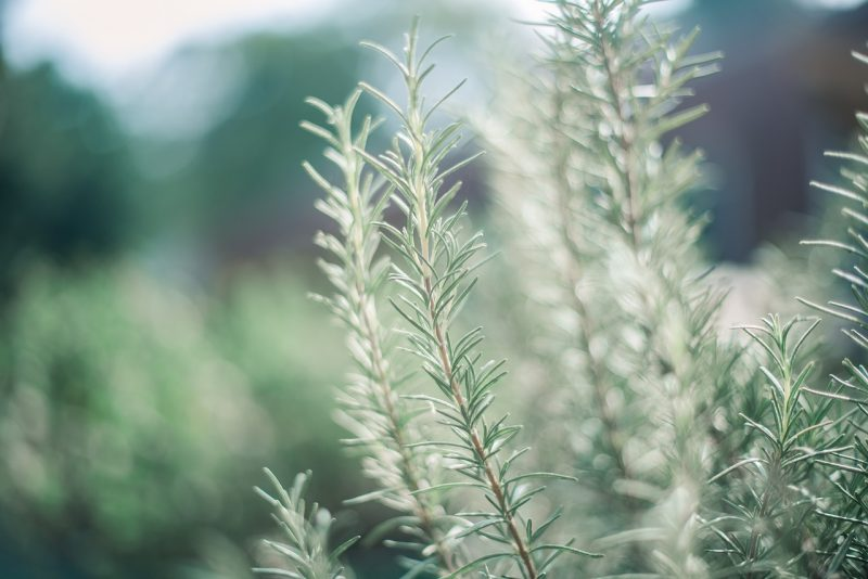 Rosemary is classic in the language of flowers
