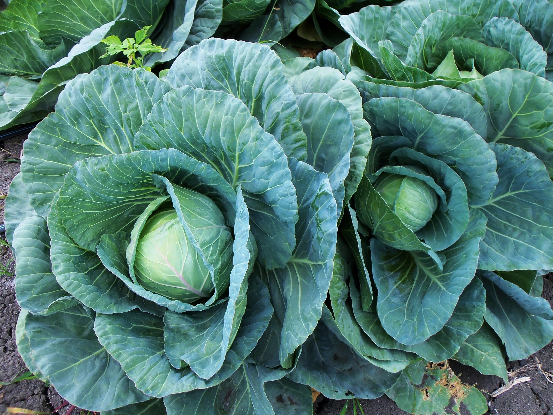 15 Giant Vegetables You Can Grow in Your Garden