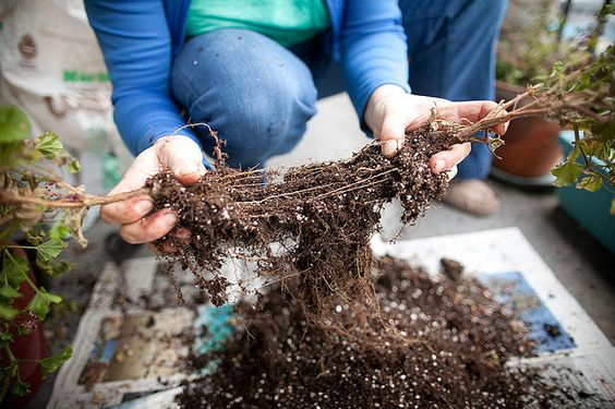 Alstroemeria root division