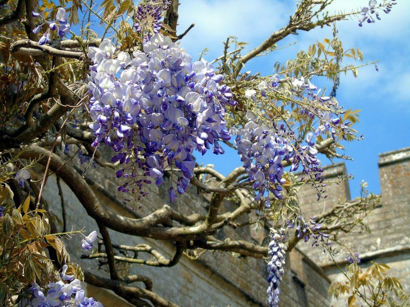 Flowering vines like wisteria