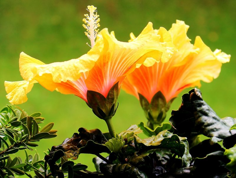 Hibiscus is a must for a tropical garden