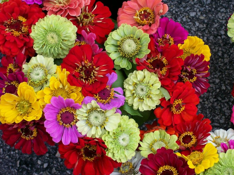 Zinnias in the language of flowers