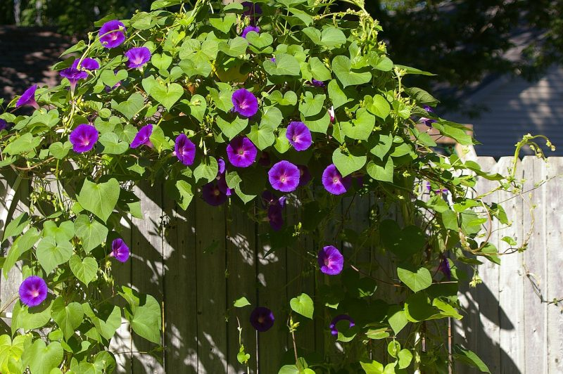 Morning glory arbor