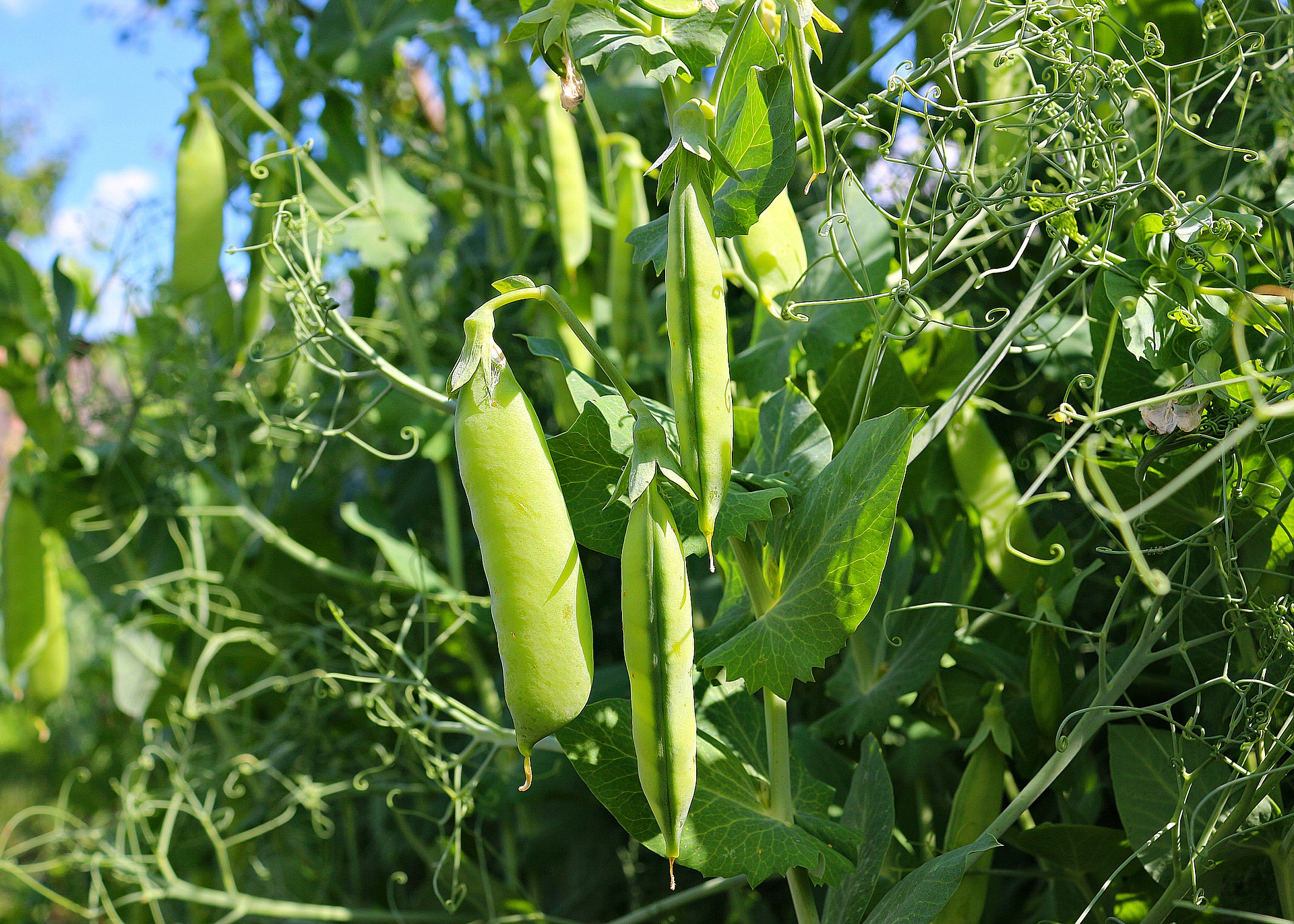 How to Grow Peas in Your Backyard