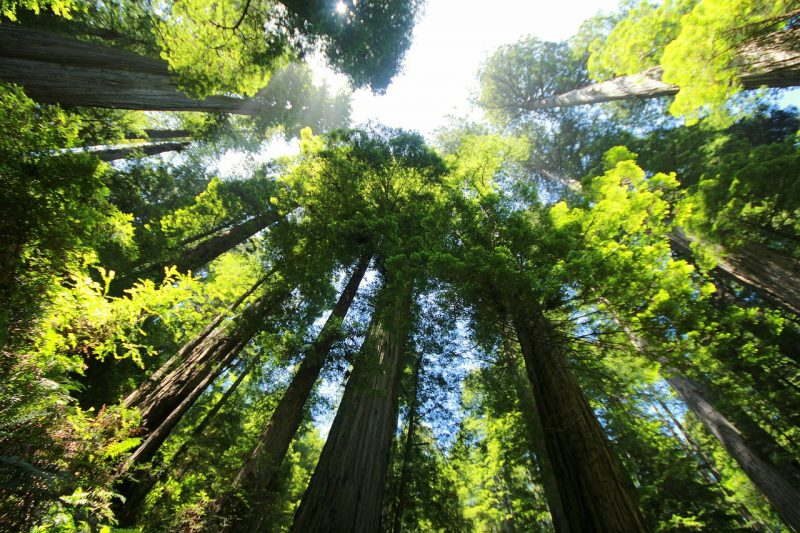Redwoods are super fast growing shade trees