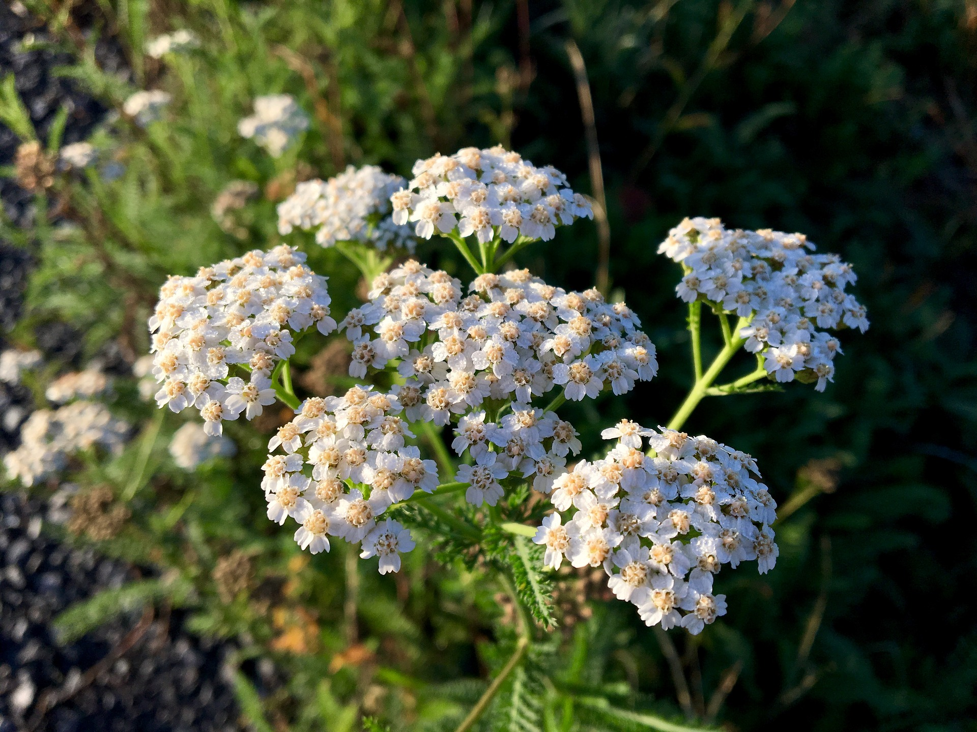 15 Reasons Why You Should Consider Growing Yarrow in Your Garden