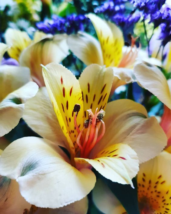 altroemeria yellow friendship