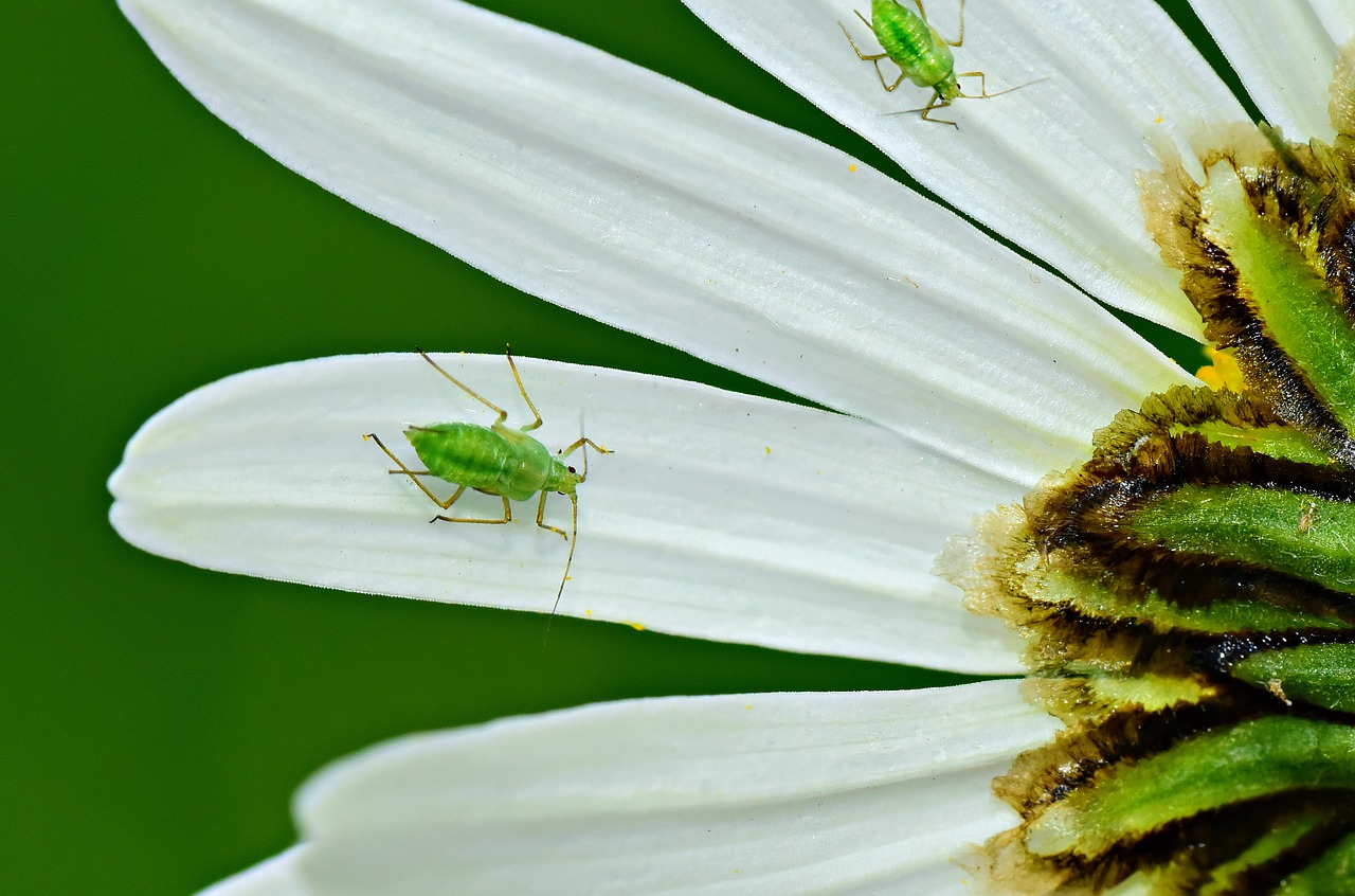 How to Get Rid of Aphids the Natural Way
