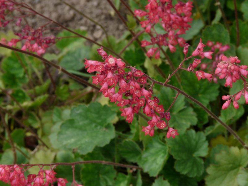 coral bells plant