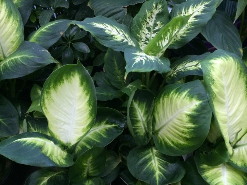 dieffenbachia leaves