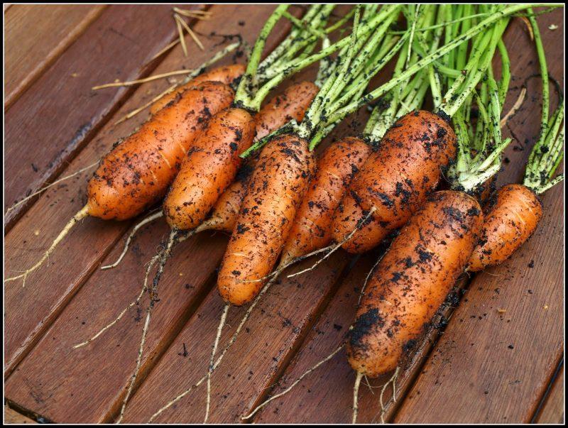 early nantes carrots