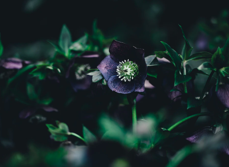 All You Ever Wanted to Know About the Magical Hellebore Plant