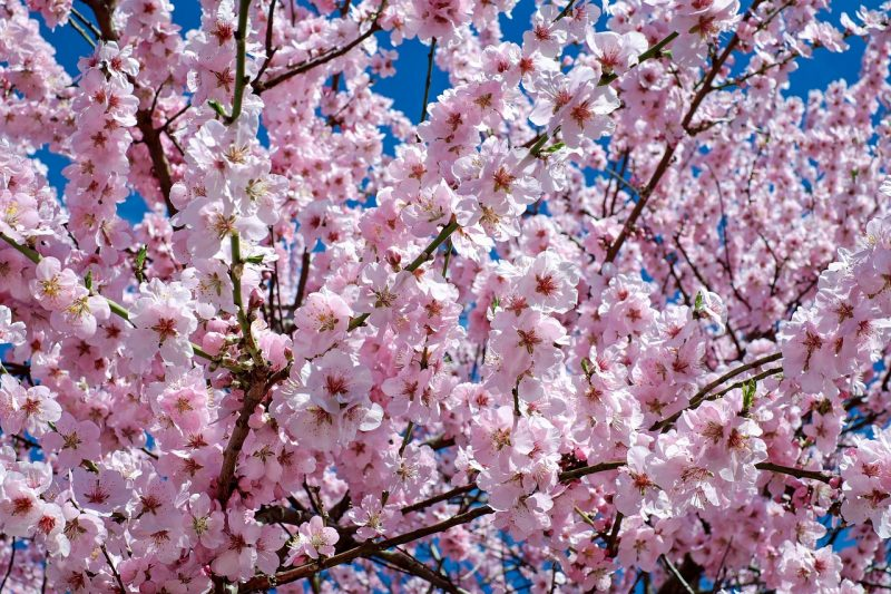 Cherry trees are great plants for birds