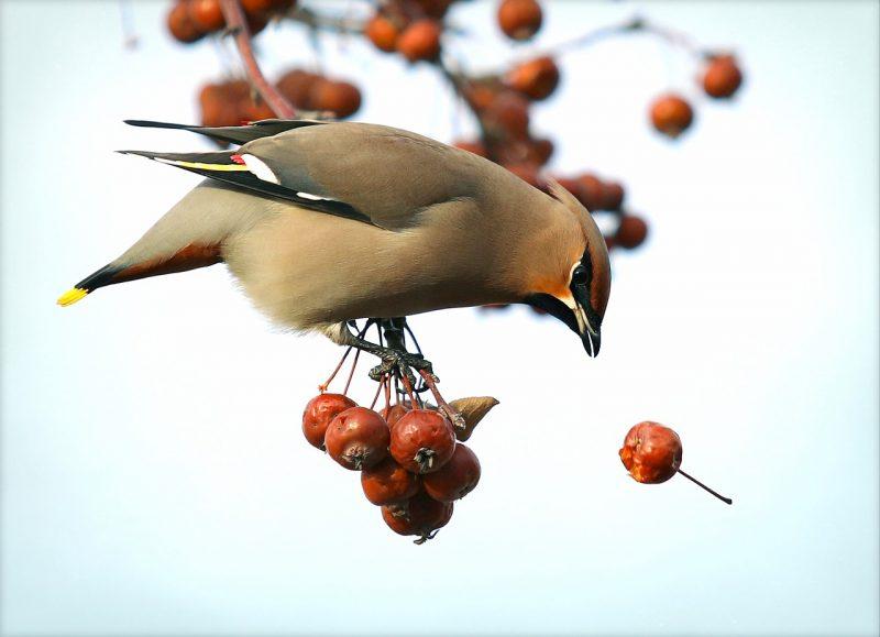 Hawthorn plants for birds